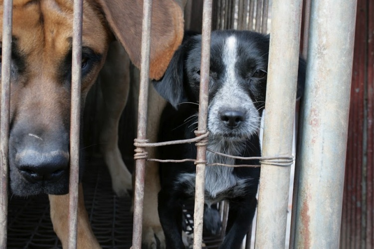 Dogs living out their short lives in filthy cages at a South Korean dog meat farm. Photo credit: SayNoToDogMeat.Net