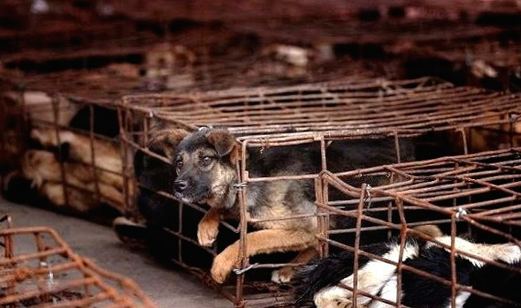 A puppy trapped in the Asian dog meat trade. Photo credit: SayNoToDogMeat.Net