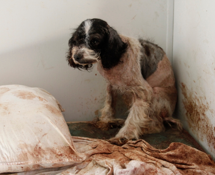 A neglected dog rescued from a hoarding situation in North Carolina. Photo credit: HSUS