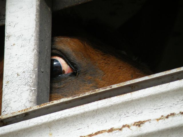 The terrified eye of a horse headed to slaughter. Photo credit: rtfitchauthor.com