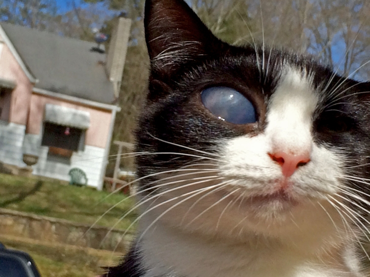 A kitten with an ulcerated eye, a very painful condition that was simply ignored by his owner.