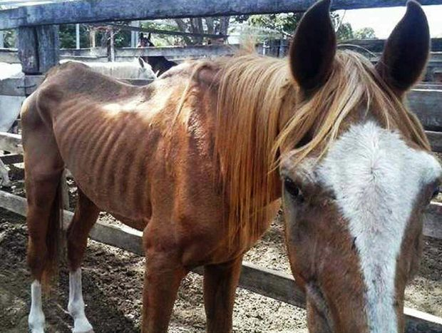 An emaciated stallion. Photo credit: Queensland Times