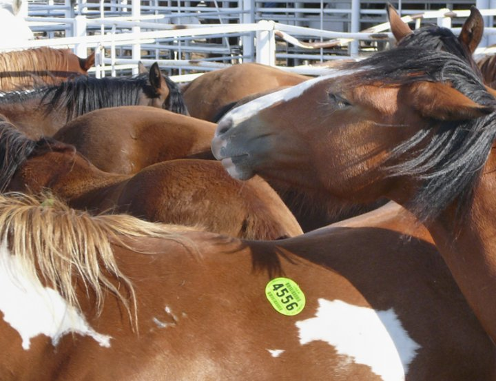 Horses crammed together in a livestock auction holding pen. Photo credit: markamerica.com