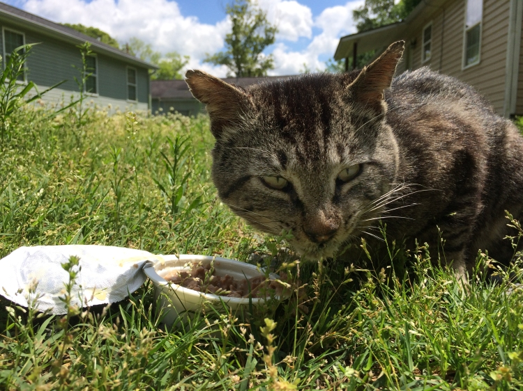 The thin and battle-scarred tom cat enjoying his meal.