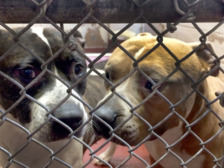 Two sorrowful kennel mates. I wished I could save them all.