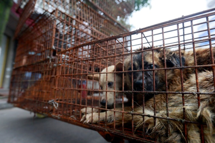 Caged dogs sit on the side of Renminzhong Rd., waiting to be transferred to a slaughterhouse in a narrow alley. Photo credit: Humane Society International.