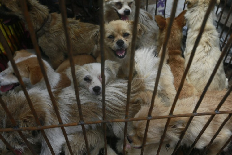 Small dogs await their doom at a slaughterhouse. Photo credit: Humane Society International.