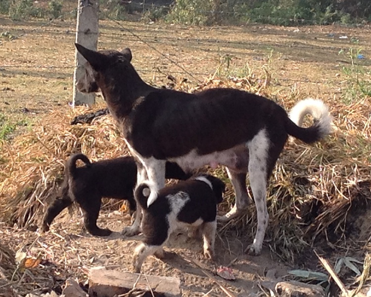 Kathmandu street dogs-2-blog