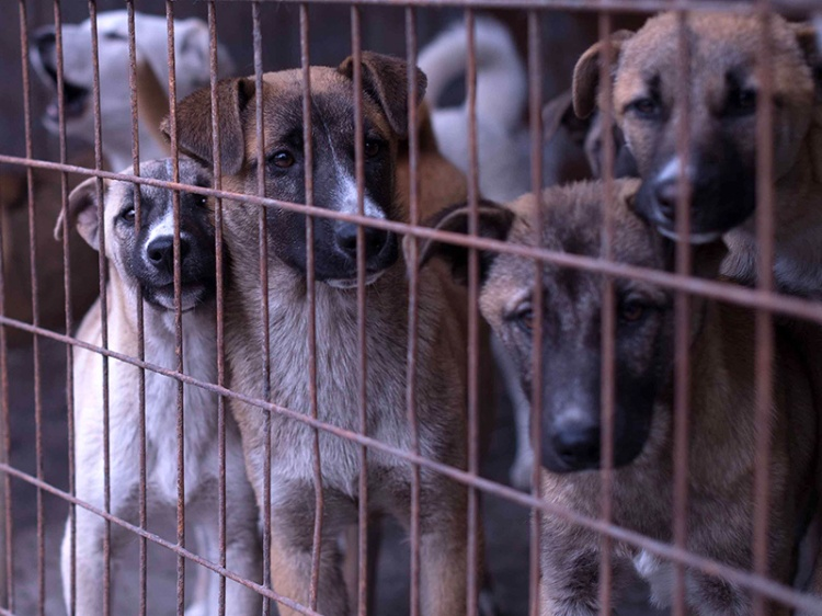 Dogs in cagest-Yulin 2016-Martyn Stewart